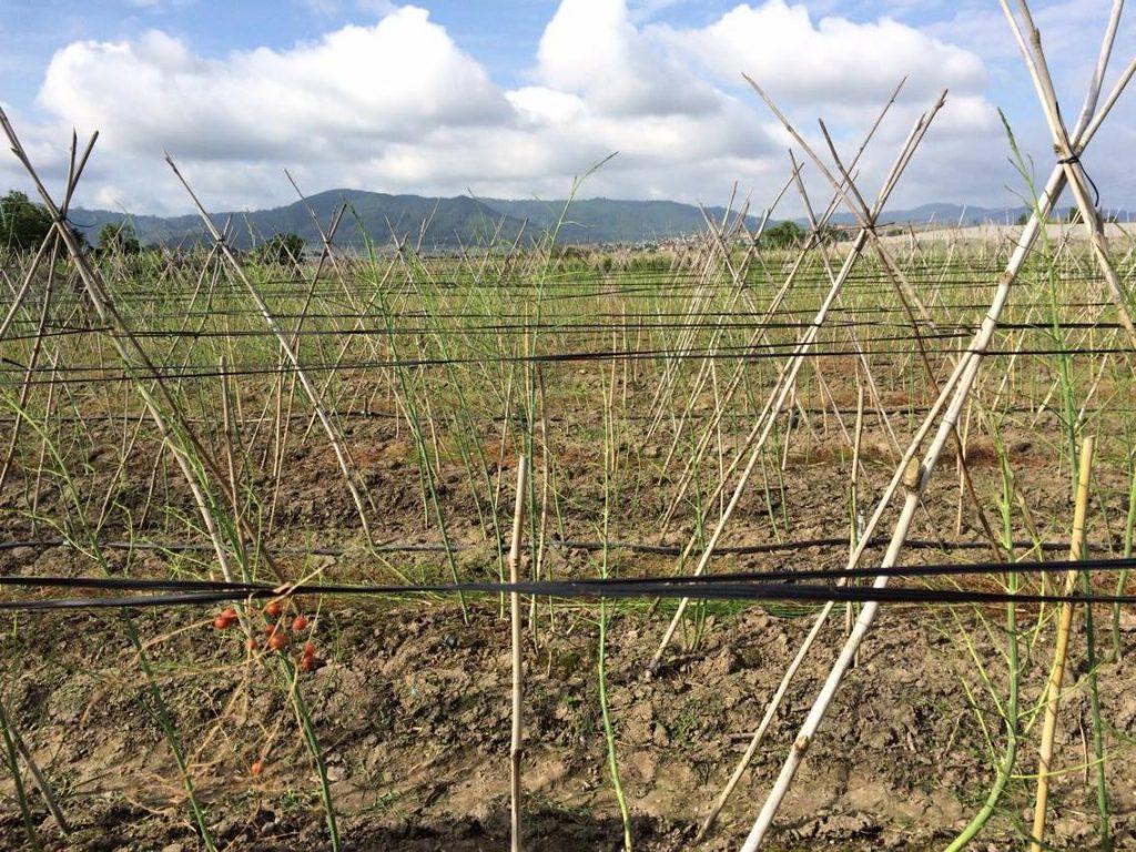 Hiệu quả kinh tế cao từ việc trồng măng tây