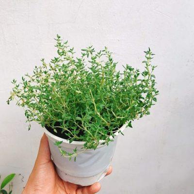 lưu ý khi sử dụng cỏ xạ hương