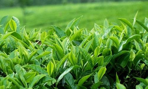 phân biệt bột trà xanh và bột matcha trà xanh