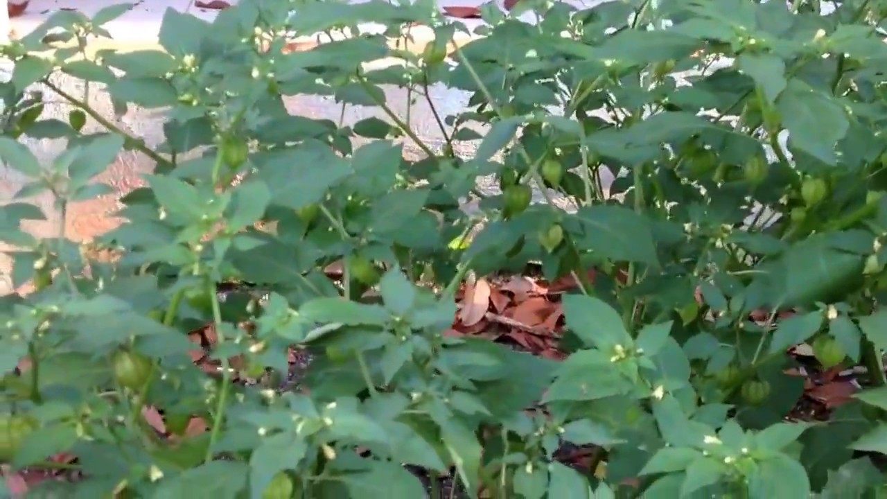 Bí kíp trồng rau tầm bóp đơn giản, dễ làm