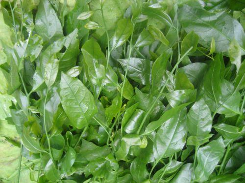 Phương pháp trồng và thu hoạch rau sắng