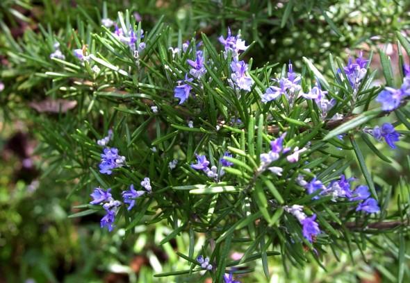 Thanh lọc không gian sống với lá hương thảo rosemary
